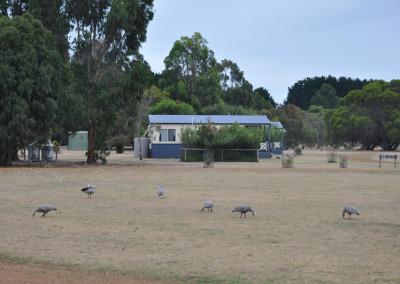 cape-barron-geese