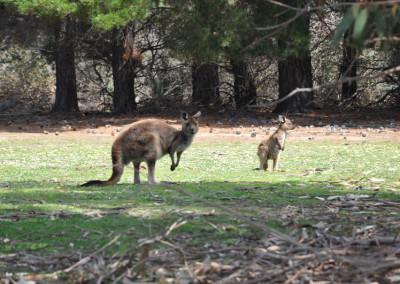 kangaroo-and-joey
