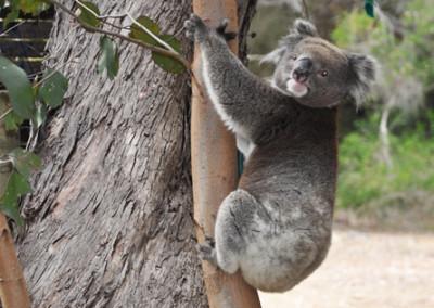 koala-in-tree