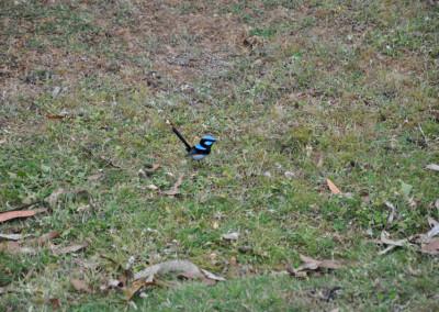splendid-blue-wren
